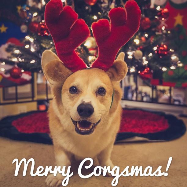 merry christmas corgi pictures - Christmas Corgi