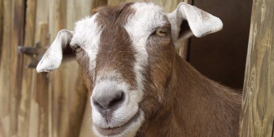 goat problem